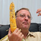 In this Tuesday, Aug. 10, 2010 photo Giorgio Fidenato holds a raw ear of genetically modified yellow corn at his office in Pordenone, northern Italy. The European Union Court of Justice ruled Wednesday Sept. 13, 2017, in favor of Italian activist farmer Fidenato, saying Italy had no right to ban GMO crops given that there is no scientific evidence they are hazardous.