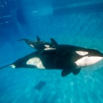 Mom and baby orcas swim together at Aquatica by SeaWorld, San Diego's Shamu Stadium in 2014. Kalia, a 10-year-old orca, gave birth to the calf under the care of SeaWorld's zoological team.