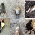 Every year in Chicago, tens of thousands of migratory birds die from smacking into downtown skyscrapers. Continue to see photos from a recent volunteer effort to collect some of the dead and injured birds.