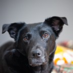 Photo of black dog named Phoenix