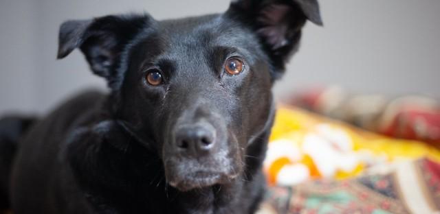 Photo of black dog named Phoenix