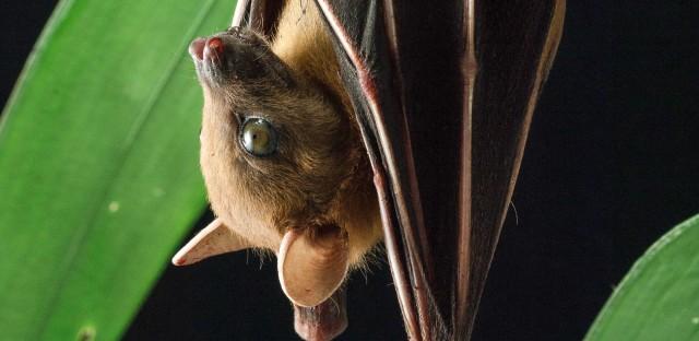 Lesser short-nosed fruit bat, Cynopterus brachyotis, roosting in Kuching, Borneo, Malaysia.