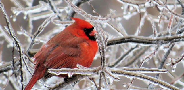 A Northern Cardinal, one of the many birds that weather in the north during winter.
