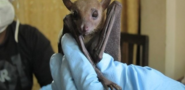 Ecologists found signs of Ebola in a Rousettus leschenaultii fruit bat. These bats are widespread across south Asia, from India to China. Kevin Olival/EcoHealth Alliance