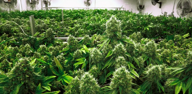 """In this Sept. 15, 2015 file photo, marijuana plants are a few weeks away from harvest in the """"Flower Room"""" at the Ataraxia medical marijuana cultivation center in Albion, Ill."""