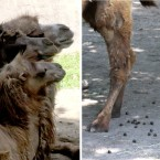 Normal Bactrian Camel waste should look like chocolate-glazed donut holes, explains Bernier. When one of the camels had a loose stool, the zoo studied its fecal matter and learned it was eating too much of the free-growing plant foliage.