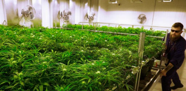 Lead grower Dave Wilson cares for marijuana plants at the Ataraxia medical marijuana cultivation center in Albion, Illinois on Sept. 15, 2015.