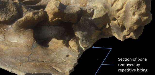 A<em> Triceratops </em>pelvis bearing nearly 80 <em>T. rex </em>bite marks. The bracket shows a region where the carnivore repeatedly removed sections of bone.