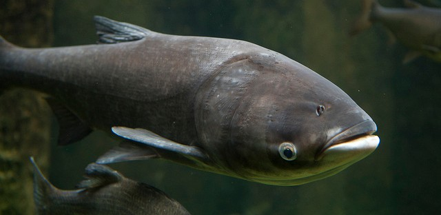 New study finds Asian carp DNA in Chicago waterways