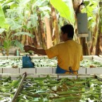 A banana farm worker in Ecuador weighs and washes the fruit. Today, Ecuador exports 32 percent of the world's bananas.
