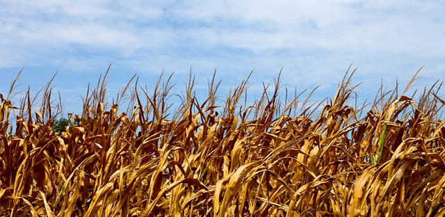 Drought hits southern Illinois crops hard