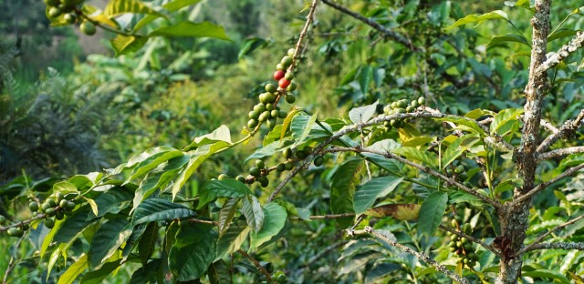 In the hills outside Gisenyi, Rwanda, coffee berries ripen on a tree. When they turn red, they're ready for picking.