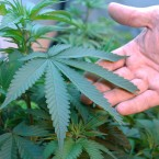Marijuana grows in the home of two medical marijuana patients in Medford, Ore.