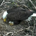 """Eagles known as """"Mr. President"""" and """"The First Lady"""" have been incubating two eggs at their nest inside the National Arboretum."""