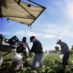 Mexican farmworkers harvest lettuce in a field outside of Brawley, Calif.