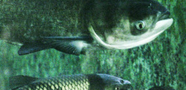 Invasive Asian carp found back in Great Lakes