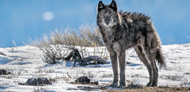 A lone member of the Phantom Springs wolf pack stands tall in Grand Teton National Park.