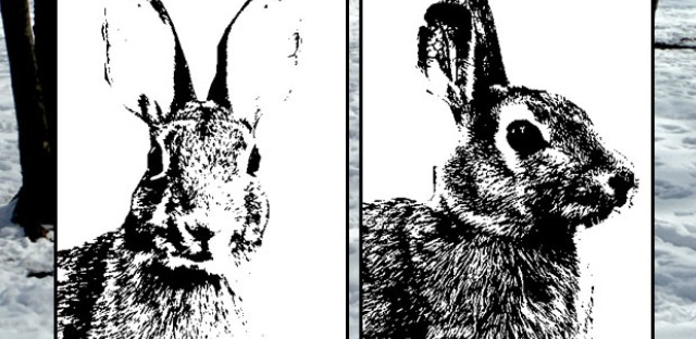 The Chicago rabbit: The unofficial face of wildlife is right under your nose