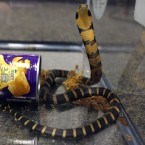 One of three king cobras that were smuggled into the U.S. in potato chip cans is seen in a photo provided by the Fish and Wildlife Service.