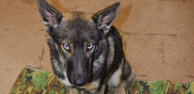 Luna, a German shepherd-husky mix, survived in the wild for five weeks after swimming 2 miles to shore when she fell off her owner's fishing boat.