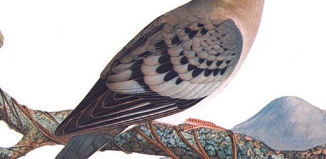 World History Minute: Passenger Pigeon goes extinct
