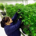 A grower inspects marijuana plants inside the Ataraxia medical marijuana cultivation center in Albion, Ill.
