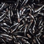 Anchoveta are processed at a fish meal factory in Lima, Peru in 2009. Peru and Chile have the world's largest anchoveta fishery, making them the world's largest producers of fish for fishmeal.