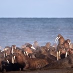 Walruses gather to rest on the shores of the Chukchi Sea, the vast majority of which was designated off limits to drilling today.