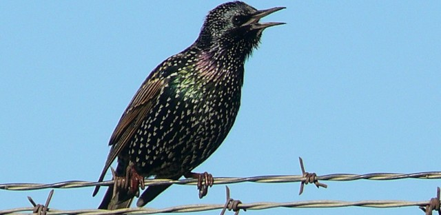 Starlings have a body density about 27 percent greater than herring gulls, another bird that makes many airports' hit lists.