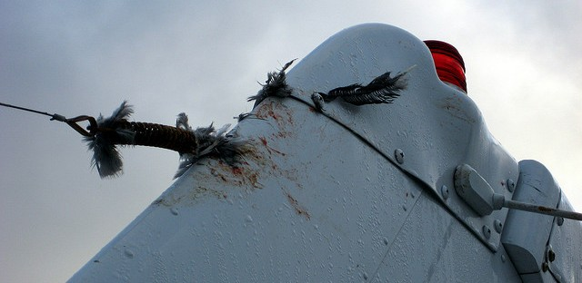 The end result of bird strike on a Cessna plane. The plane was fine, the bird was not.