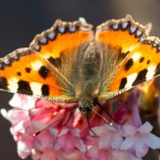 A butterfly sits on a bloom during springlike temperatures in Erfurt, Germany, Wednesday, Feb. 27, 2019.