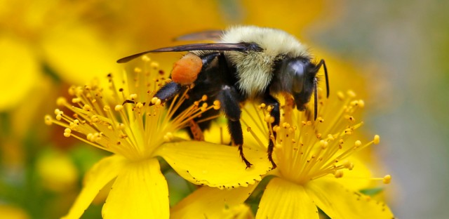 A bumblebee gathers nectar on a wildflower in Appleton, Maine.