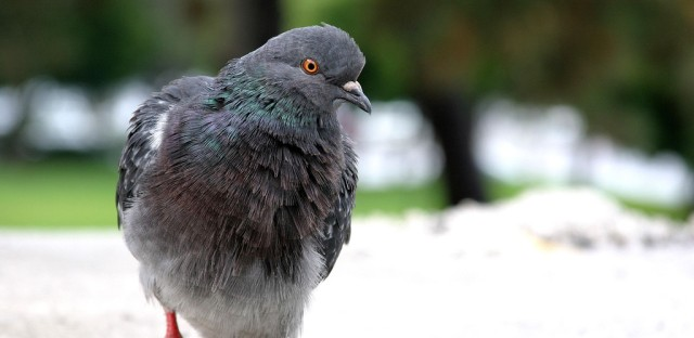Killing Pigeons Softly in Oak Park