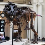 Sue, the Field Museum's well-known Tyrannosaurus rex skeleton, is dusted while on display on May 12, 2010.