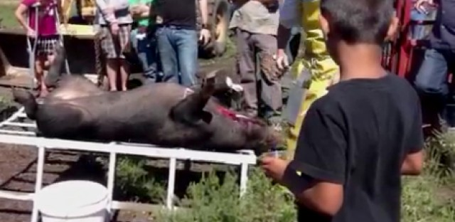 Visitors to Faiths Farm, including kids, watch a humane hog slaughter. Some people believe this is important to witness while others think its wrong.