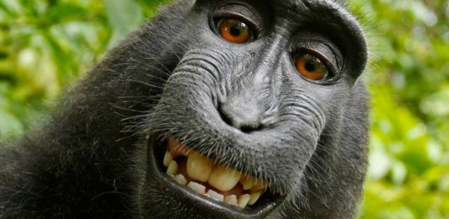 Naruto, a macaque monkey, took this self-portrait in 2011 with a camera owned by photographer David Slater. It has been the subject of a years-long copyright battle.