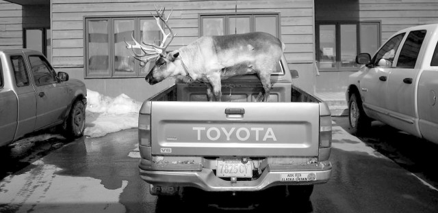 """Velvet Eyes — a pet reindeer belonging to Carl Emmons — stands in the back of a pickup truck outside a market and gas station in Nome, Alaska. From the story """"Dashing Through The Snow ... With A Reindeer In A Pickup Truck,"""" 2013."""
