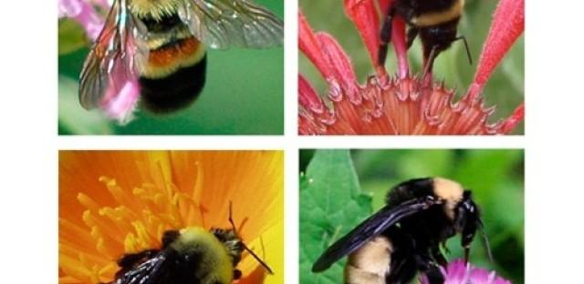 EcoMyths celebrates our native pollinators: bees