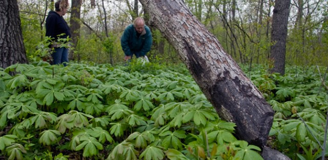 Linda Ruxton (left) and John Pastirik peer over a sea of Mayapples towards evidence of beaver activity in Eggers Grove. The two lead regular garlic mustard removals each spring. (WBEZ/Chris Bentley)