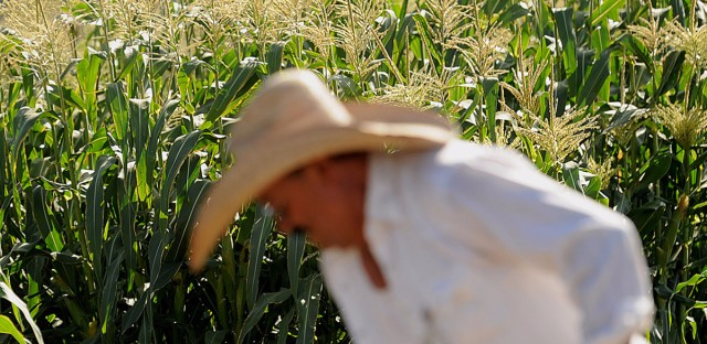 Worker Javier Alcantar tends to corn crops at the Monsanto Co. test field in Woodland, Calif., in 2012.