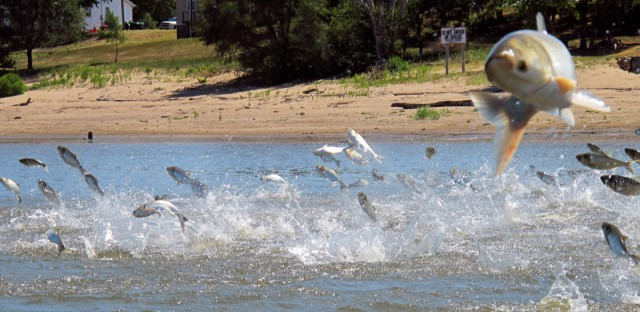 In this June 13, 2012, file photo, Asian carp jump from the Illinois River near Havana, Illinois. This week, agency heads from Great Lakes states are meeting to discuss how to stop the fish from getting into Lake Michigan and beyond.