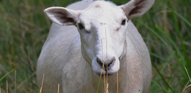 Urban livestock show coming to Chicago