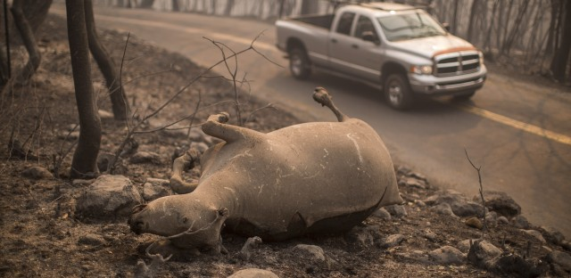 A cow lies dead by a road in Soda Canyon, near Napa. Heading into a fourth day of the struggle, firefighters appeared no closer to containing the blazes.