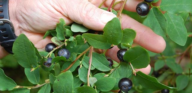 Huckleberries in Sitka, Alaska