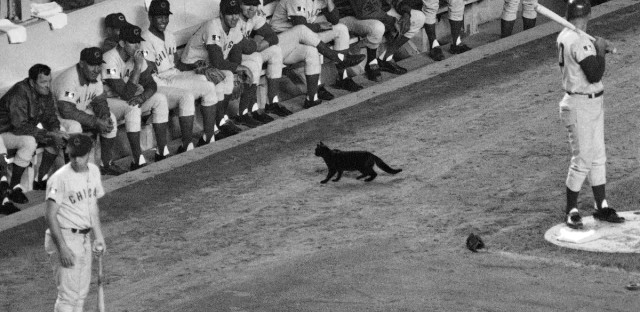 In this Sept. 9, 1969, file photo, a black cat stands in front of the Chicago Cubs' dugout during the first inning of a baseball game against the New York Mets in New York. Cubs fans Erik Williams and Brad Knaub are hoping to exorcise the Curse of the Billy Goat this postseason by, well, slaughtering one of their own goats. They own a company that produces sausage and other food from locally sourced meats. Now, perhaps this entire endeavor is another crackpot scheme by Cubs fans to help deliver a World Series title. But research has proven that superstitions actually do help athletes perform better.