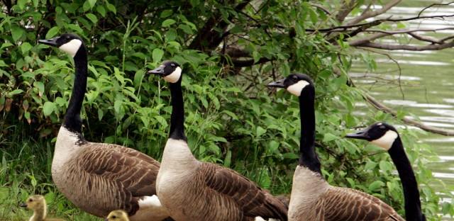 Canada Geese move up the shore with goslings near a lake in McCandless, Pa., Tuesday, May 26, 2009.