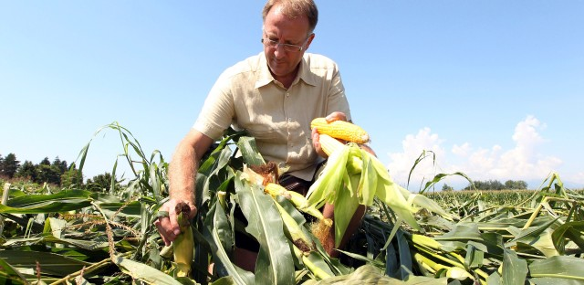 Study finds GM sweet corn in some, but not many US stores