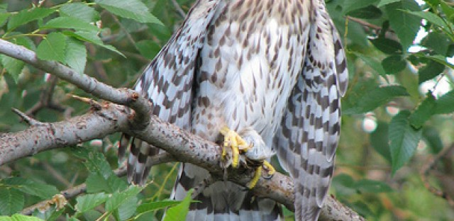 Cooper's Hawks look very similar to Sharp-shinned Hawks, but differences can be detected with key details like tail feather shape. Our field guide gives more clues for distinguishing the species.