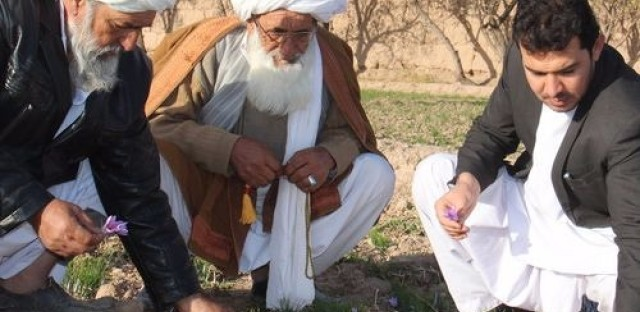 Global Activism: Working with Afghanistan's saffron farmers