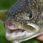 An Industrial Chemical Finds its Way into Great Lakes Trout